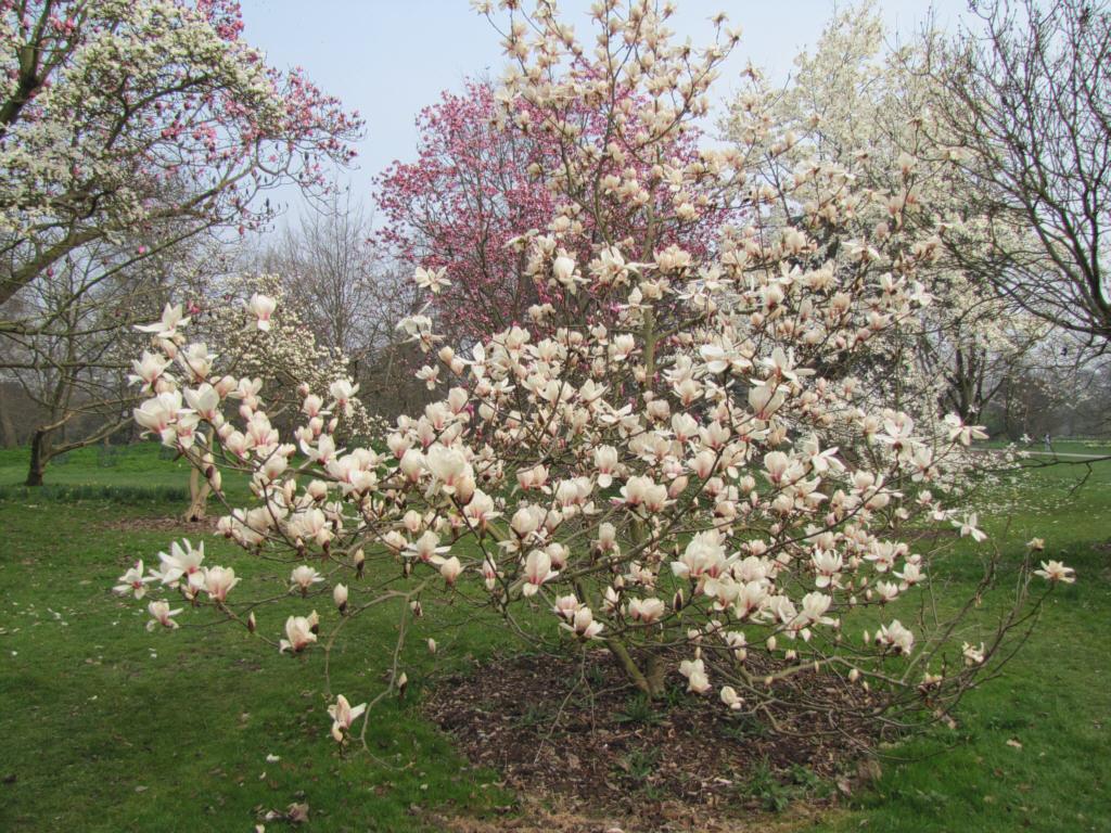 Magnolia Soulangeana Lennei Garden Design Ideas